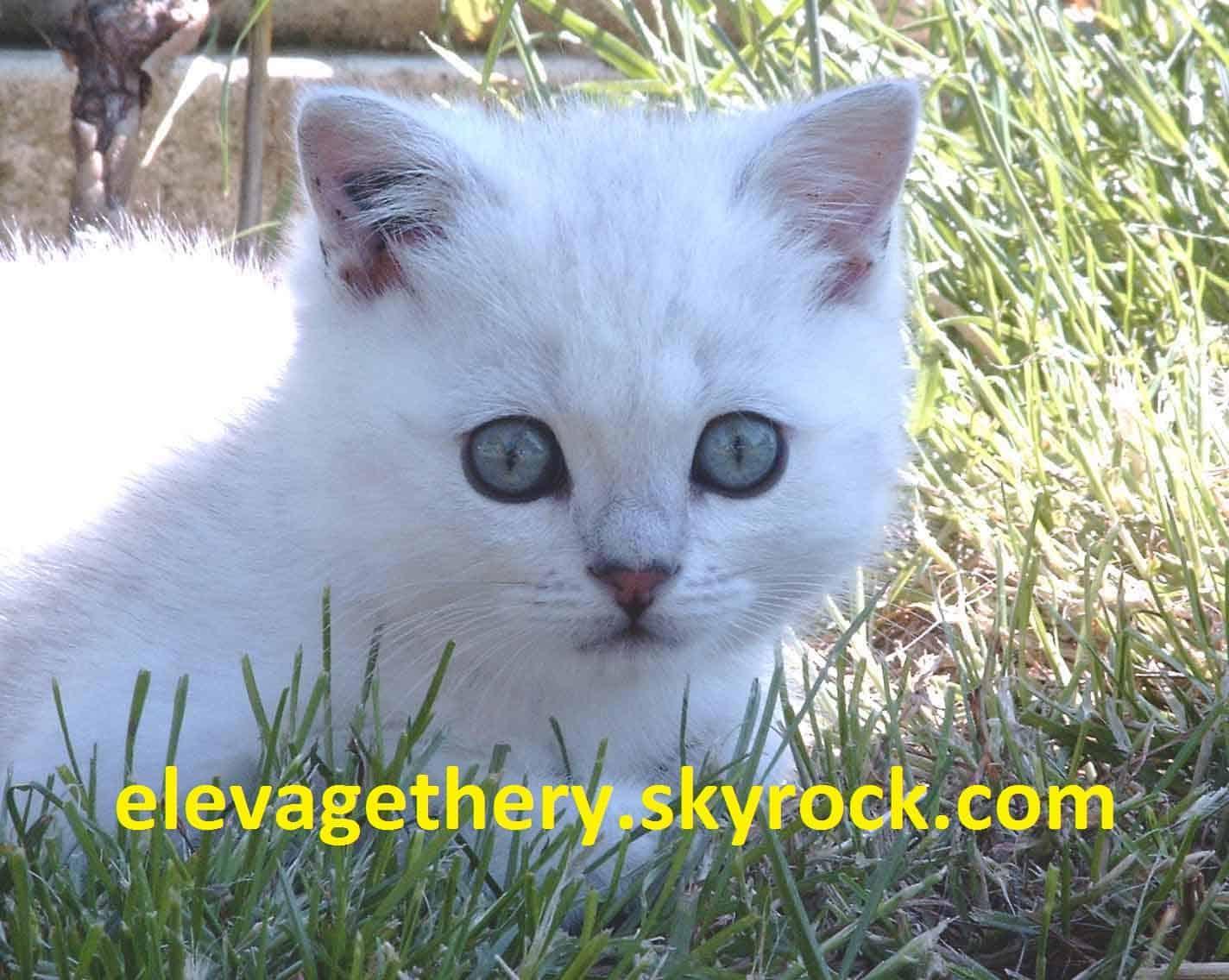 Chaton British shorthair : 3  mâles - femelle 1 98345